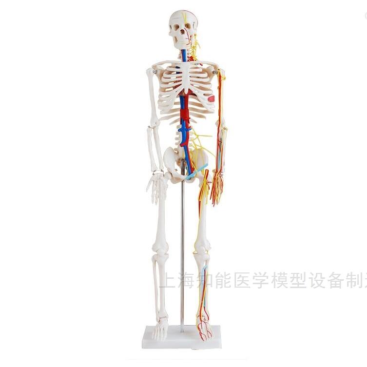人体骨骼结构模型