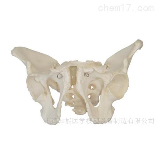 男性骨盆骨骼模型