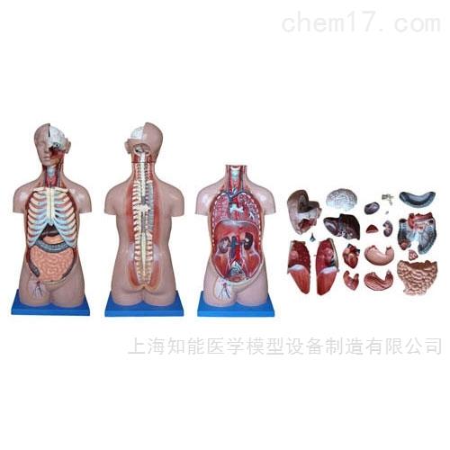 医学人体解剖模型