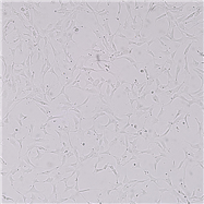 SNL-147TB 1 LU(蝙蝠肺细胞)