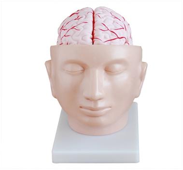 脑解剖模型
